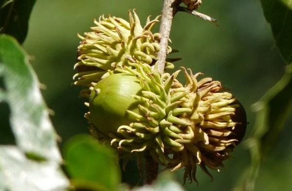 sawtooth.oak.acron