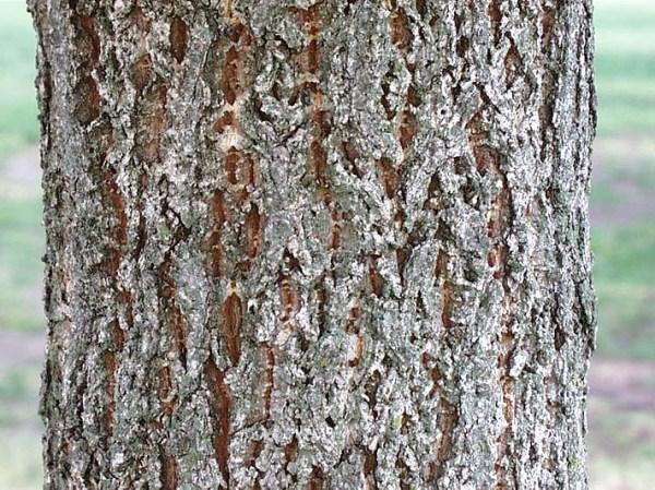 sawtooth.oak.bark