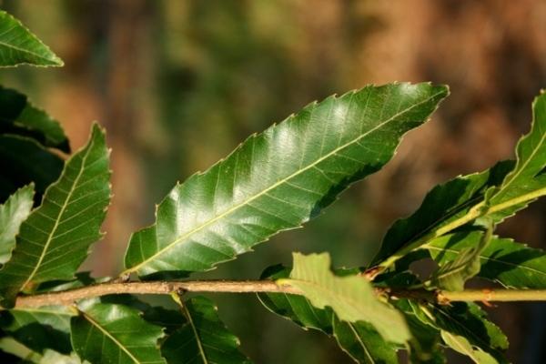 sawtooth.oak.leaf