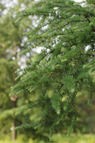 tree.larch